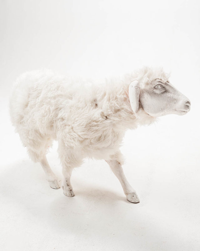 Front view of Sheep