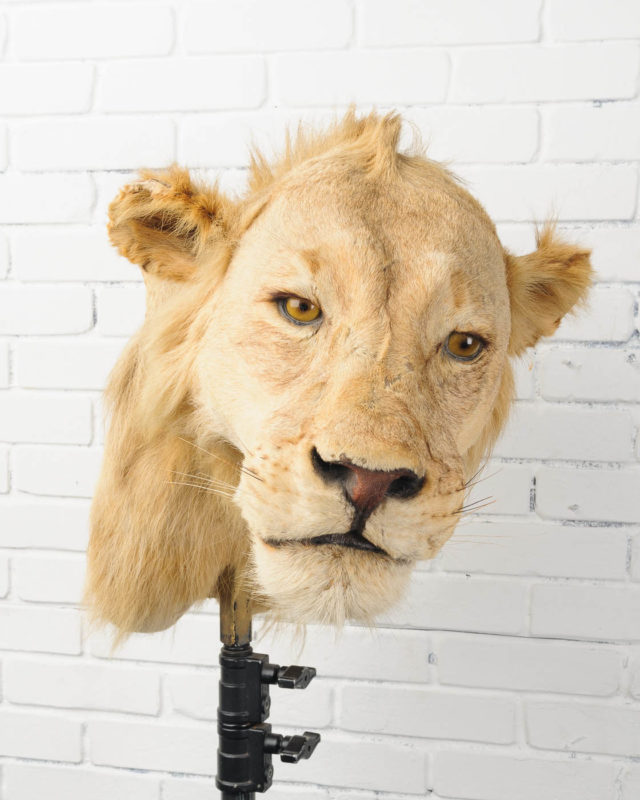 Front view of Lion