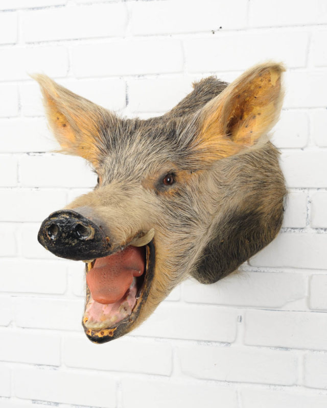 Front view of Angry Boar