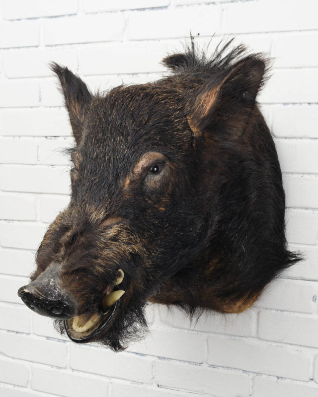 Front view of Black Boar