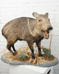 Front view thumbnail of Standing Boar