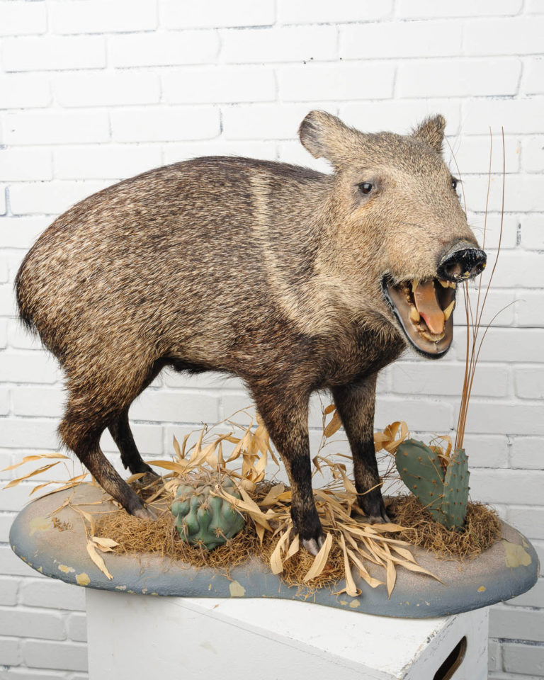 Front view of Standing Boar