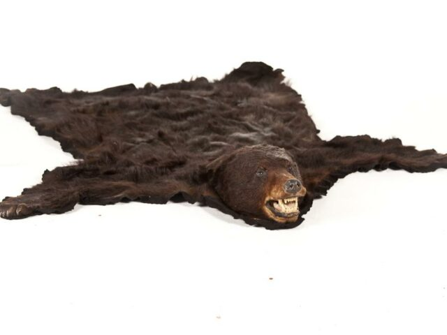 Front view of Black Bearskin Rug