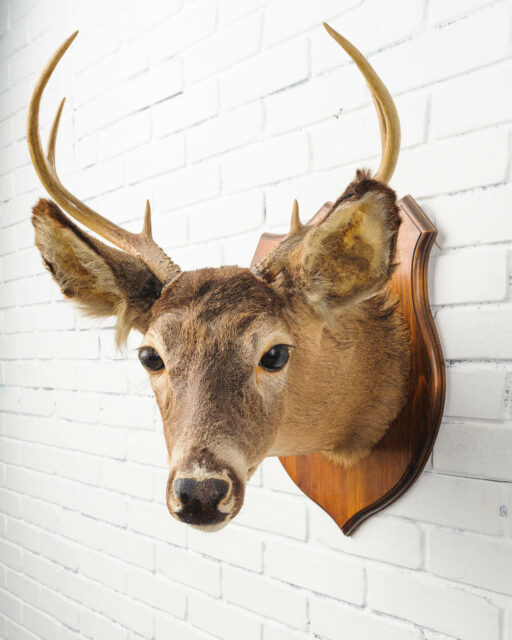 Front view of Turned Neck Deer Mount