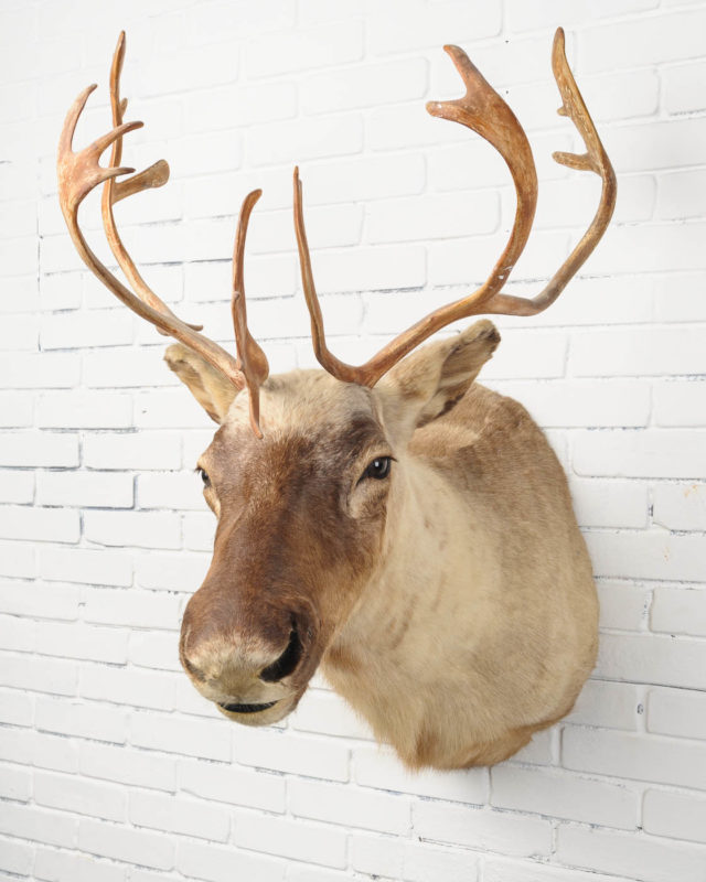 Front view of Large Elk Mount
