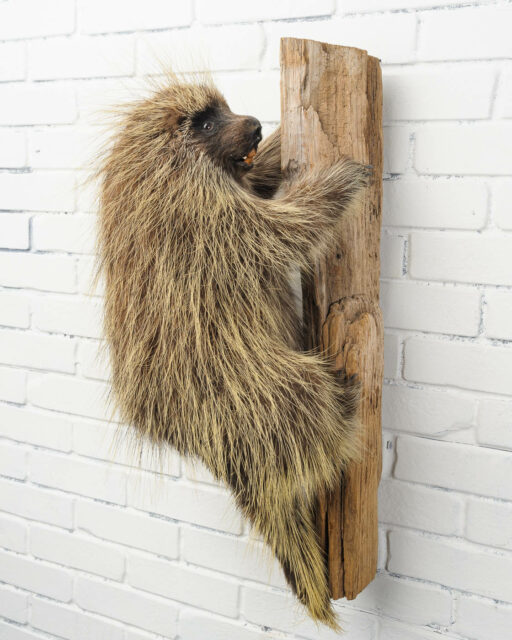 Front view of Climbing Porcupine