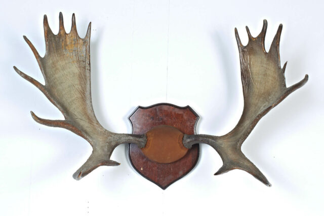 Front view of Moose Antlers