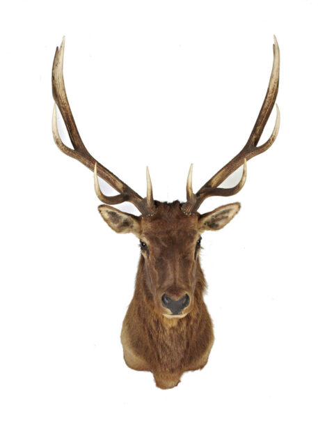 Front view of Large Brown Deer Mount