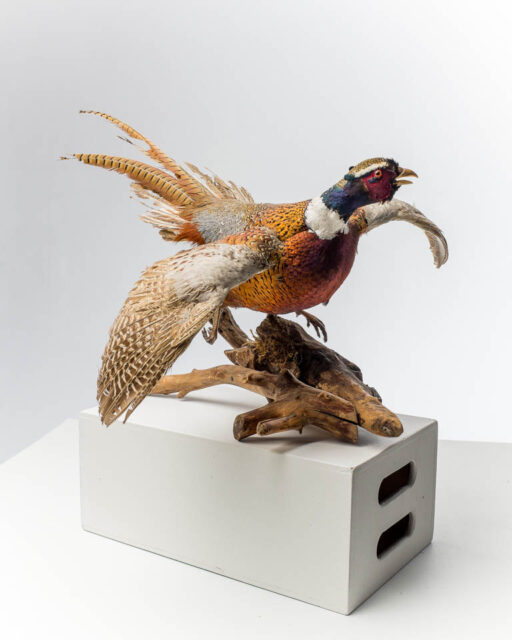 Front view of Pheasant