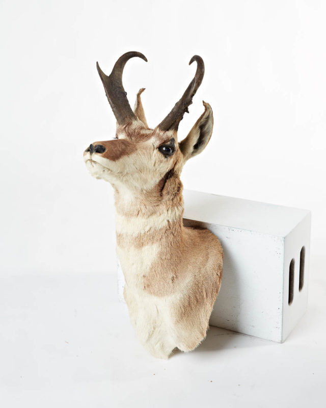 Front view of Blond Deer