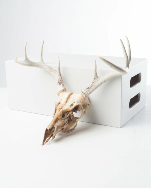 Front view of Marin Deer Skull with Antlers