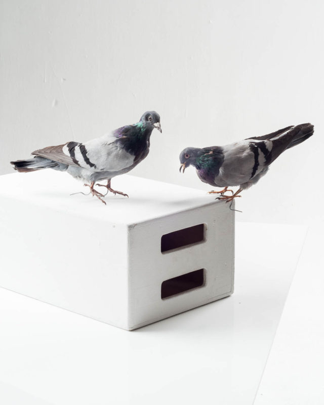 Front view of Pigeon Pair