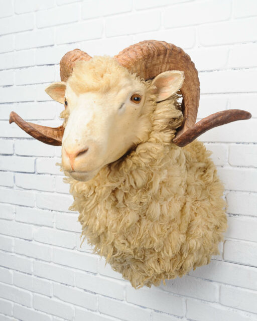 Front view of Baron Sheep