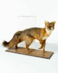 Front view thumbnail of Forest Fox