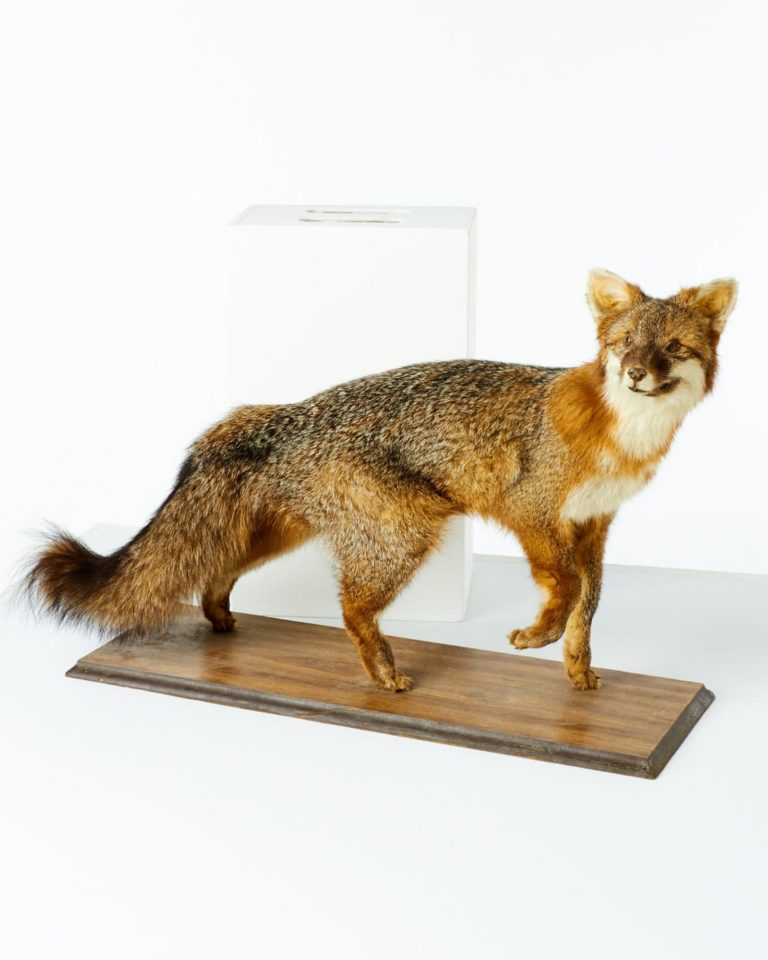 Front view of Forest Fox