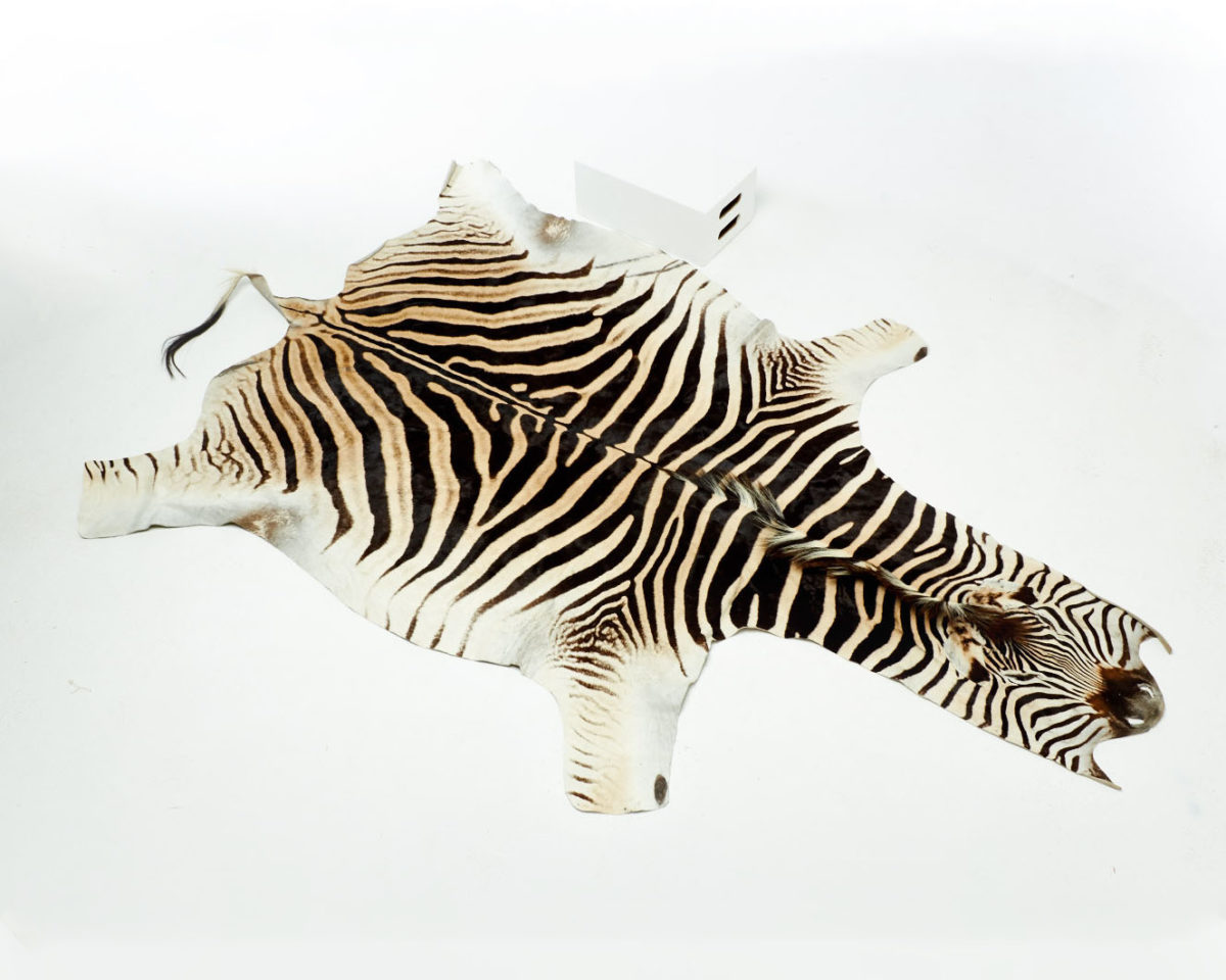 Front view of Kali Zebra Hide