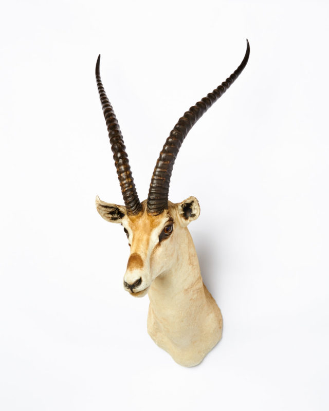 Front view of Horned Gazelle