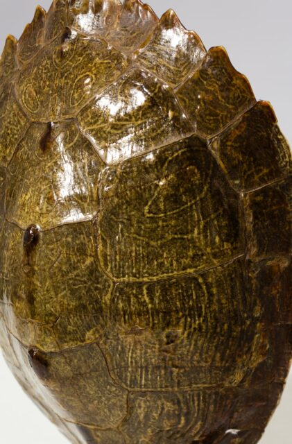 Alternate view 1 of Standing Turtle Shell