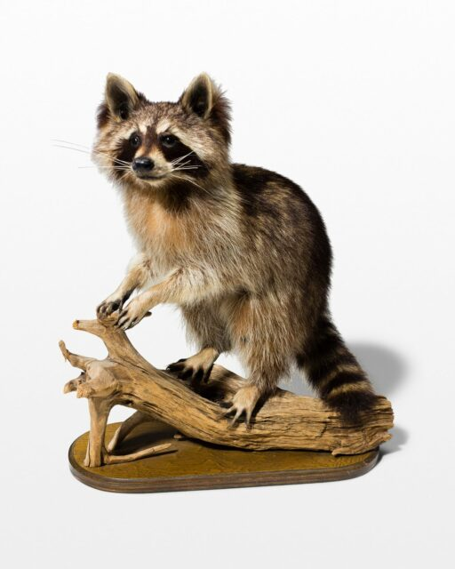 Front view of Perched Raccoon
