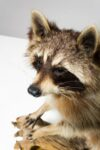 Alternate view thumbnail 2 of Perched Raccoon