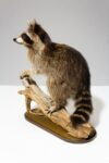 Alternate view thumbnail 3 of Perched Raccoon