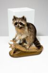 Alternate view thumbnail 6 of Perched Raccoon