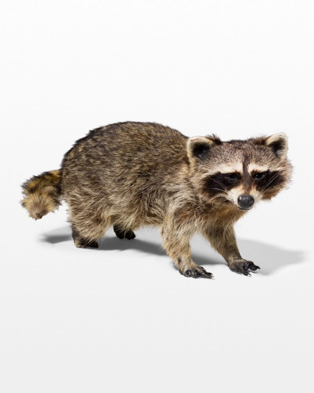 Front view of Raccoon