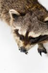 Alternate view thumbnail 5 of Raccoon