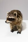 Alternate view thumbnail 4 of Raccoon