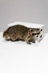 Alternate view thumbnail 1 of Raccoon