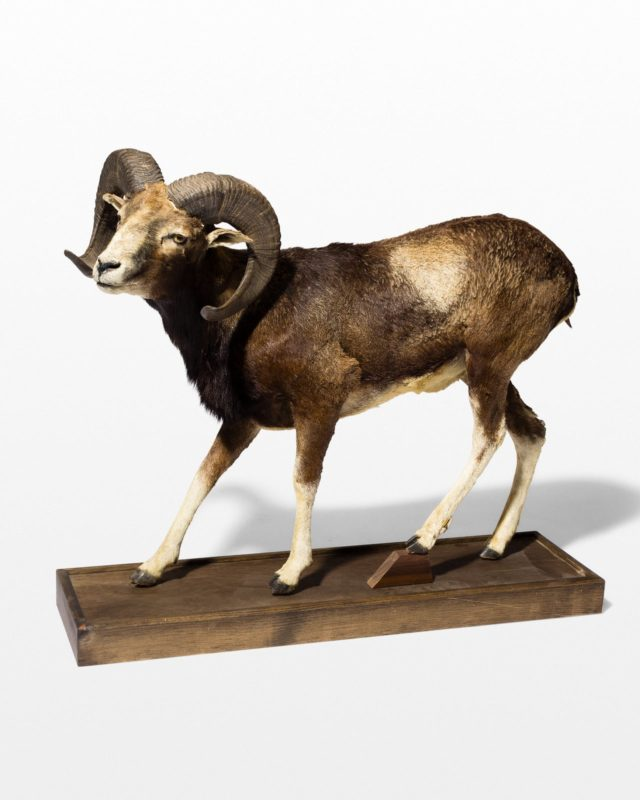 Front view of Mountain Ram