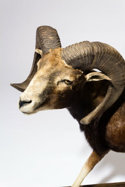 Alternate view 1 of Mountain Ram