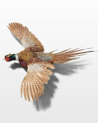 Front view of Pheasant in Flight Wall Mount